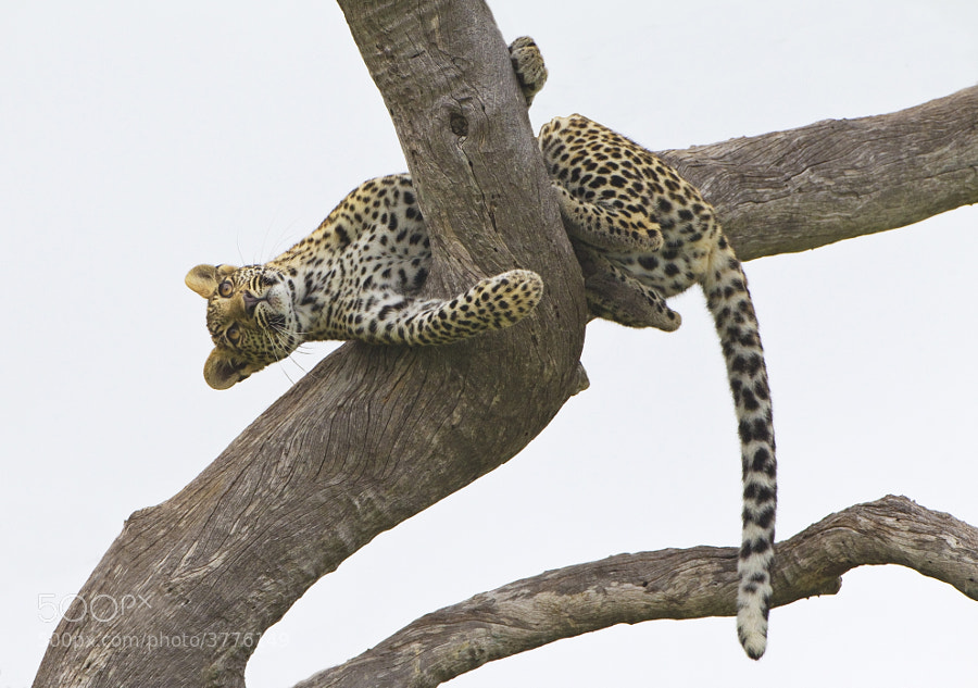 Another image from our young Leopardess sighting. Taken in Savute, Botswana