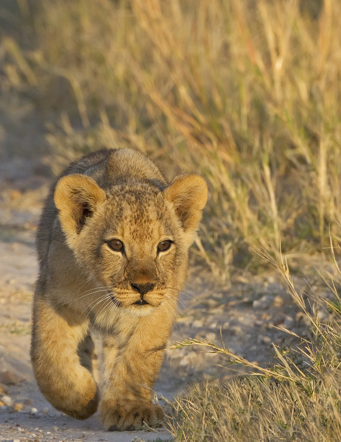 A very young Lion cub, the eyes lighten to the normal yellow at arounf 3 months, Taken in Hwange National Park, Zombabwe