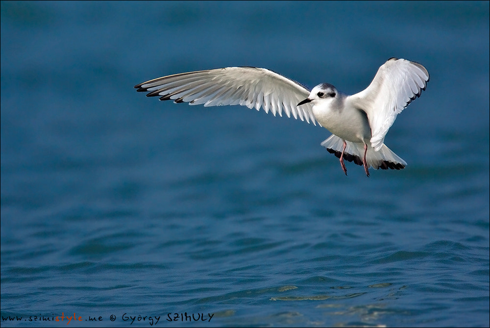 Photograph Little Gull (Hydrocoloeus minutus) by Gyorgy Szimuly on 500px