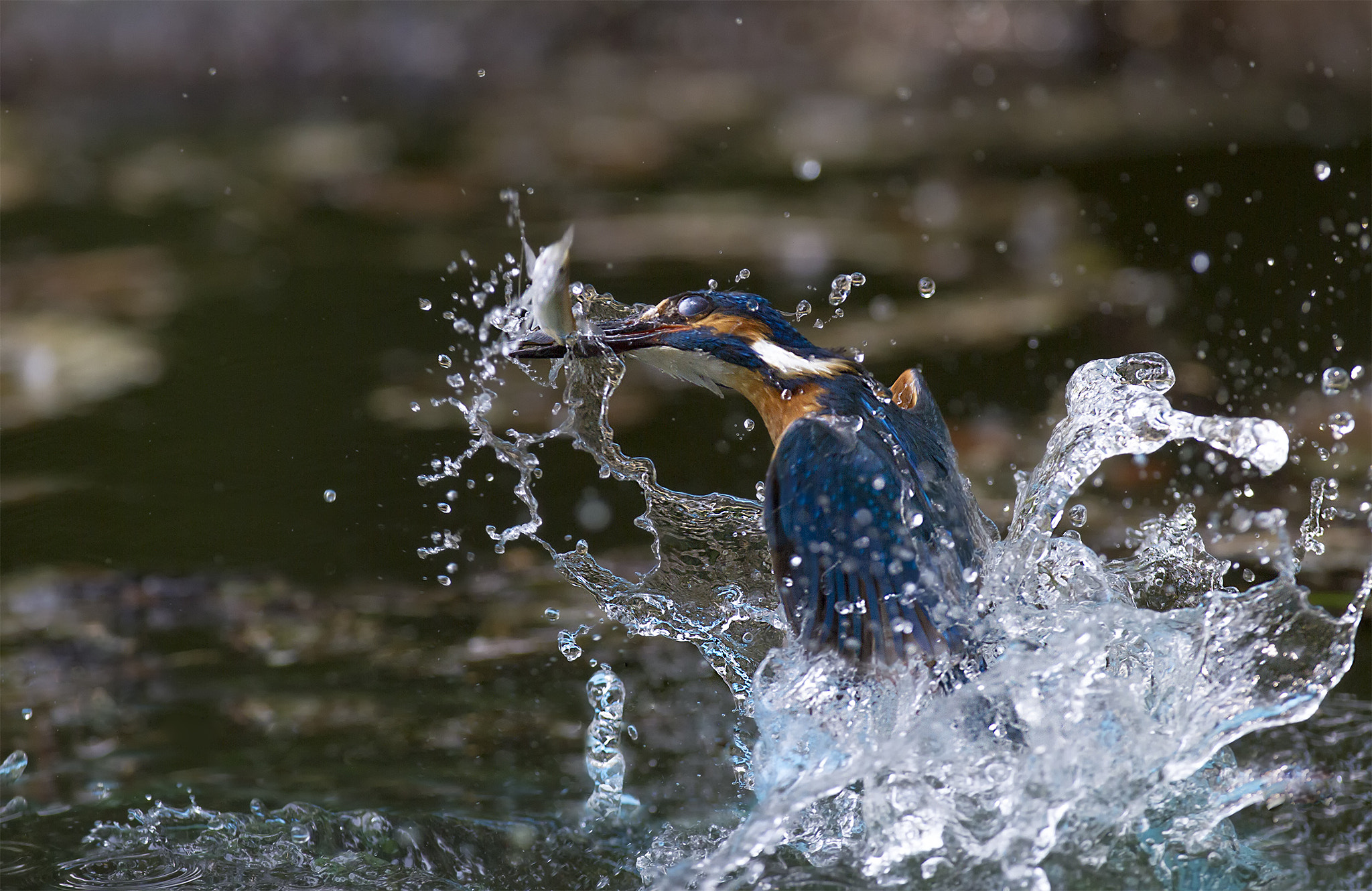 Photograph Kingfisher! by Marco Redaelli on 500px