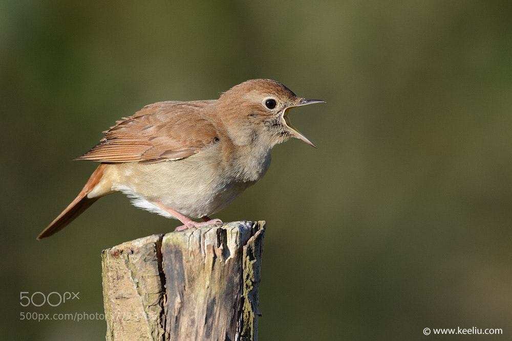 Photograph Common Nightingale 2 by Kee Liu on 500px