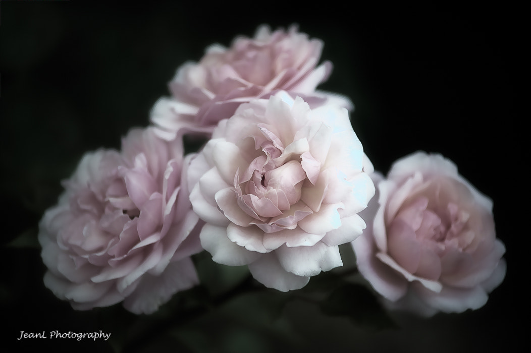Photograph Roses by Jean Li on 500px
