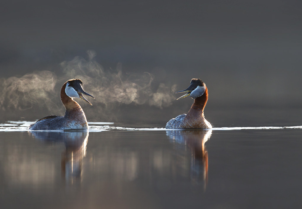Photograph Red-necked Grebes by Matthew Studebaker on 500px