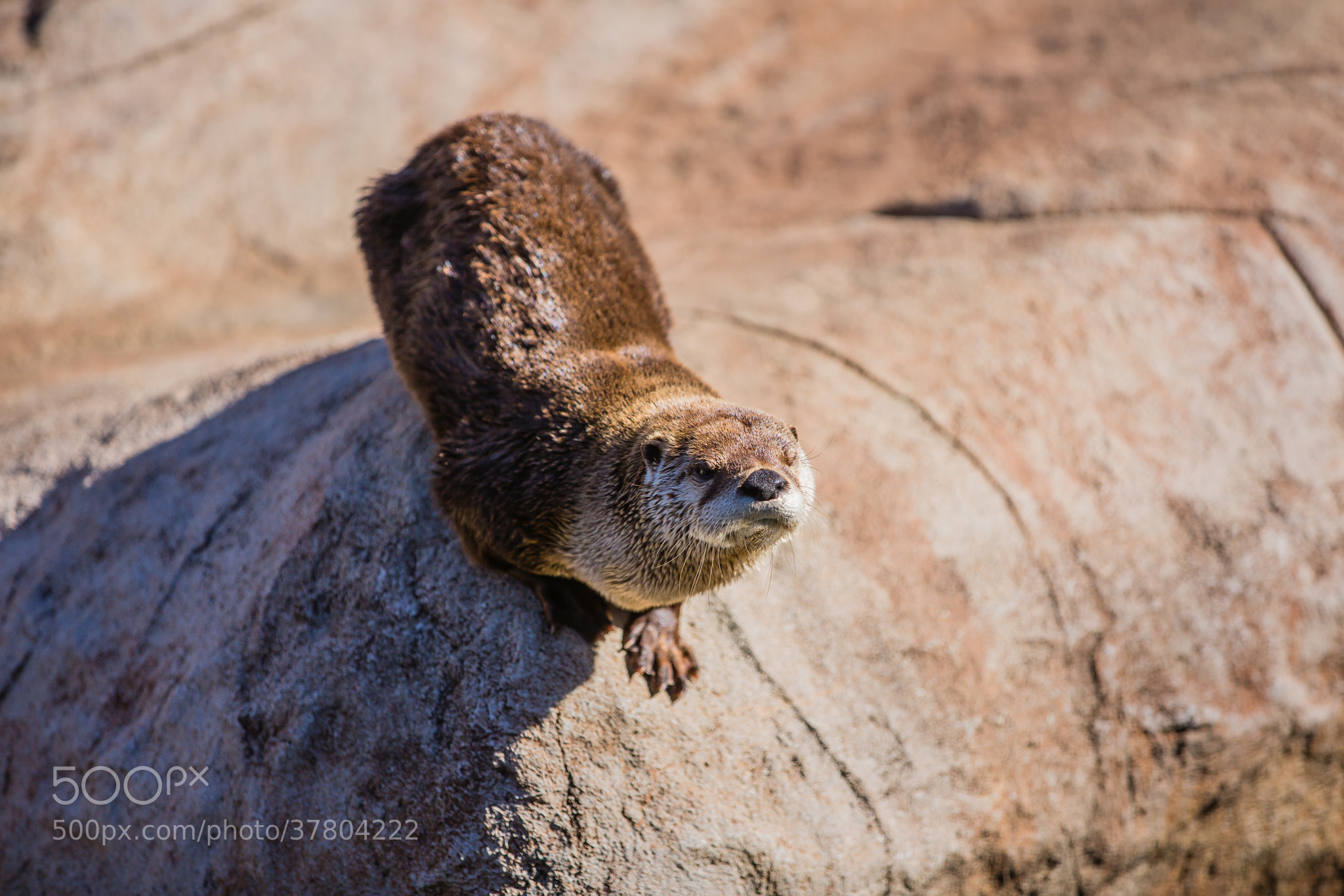 Photograph North American River Otter (Lontra Canadensis) by Scott Nelson on 500px