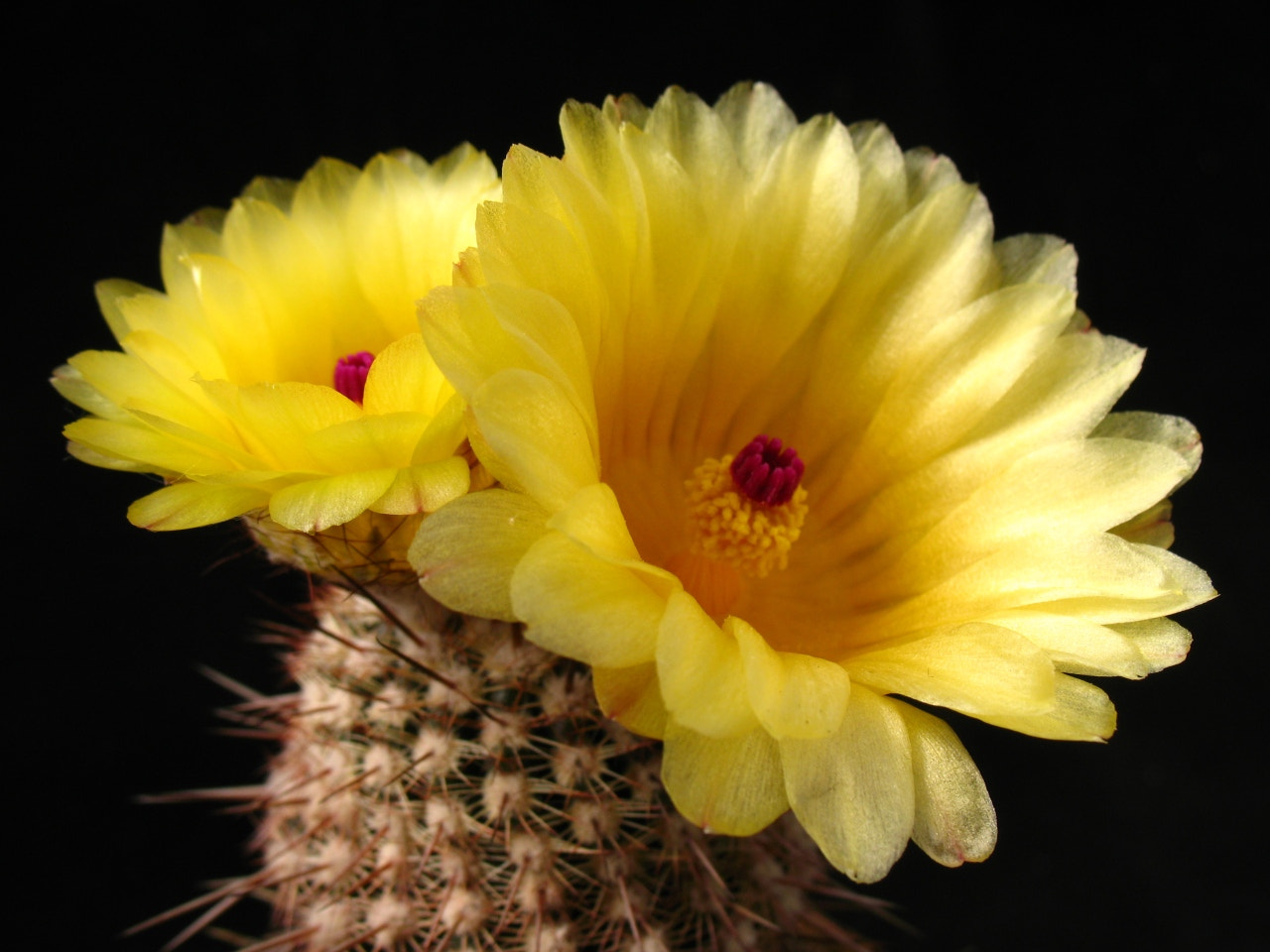 Photograph Natocactus flower by ali kangal on 500px