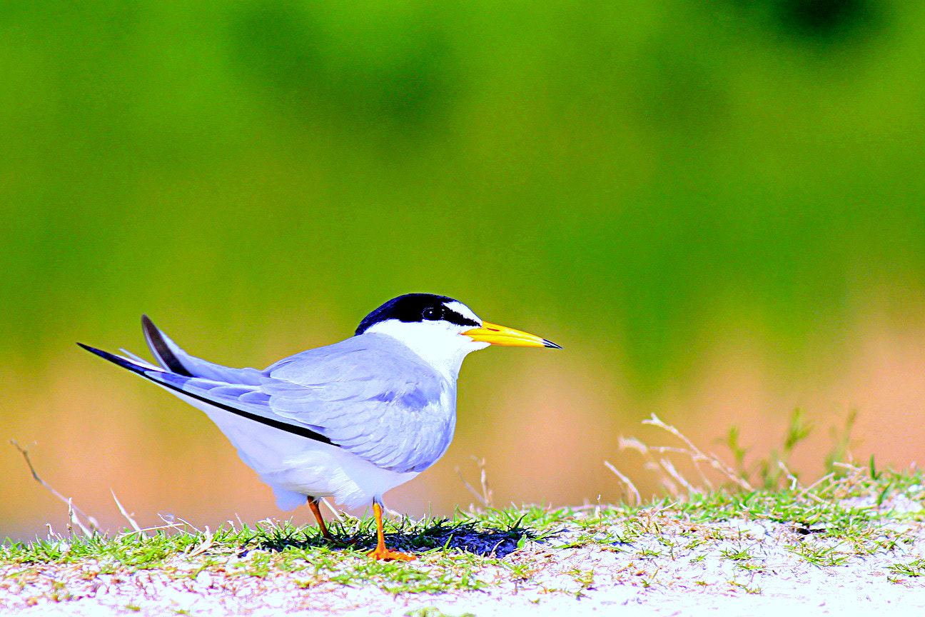 Photograph Least Tern by htmian on 500px