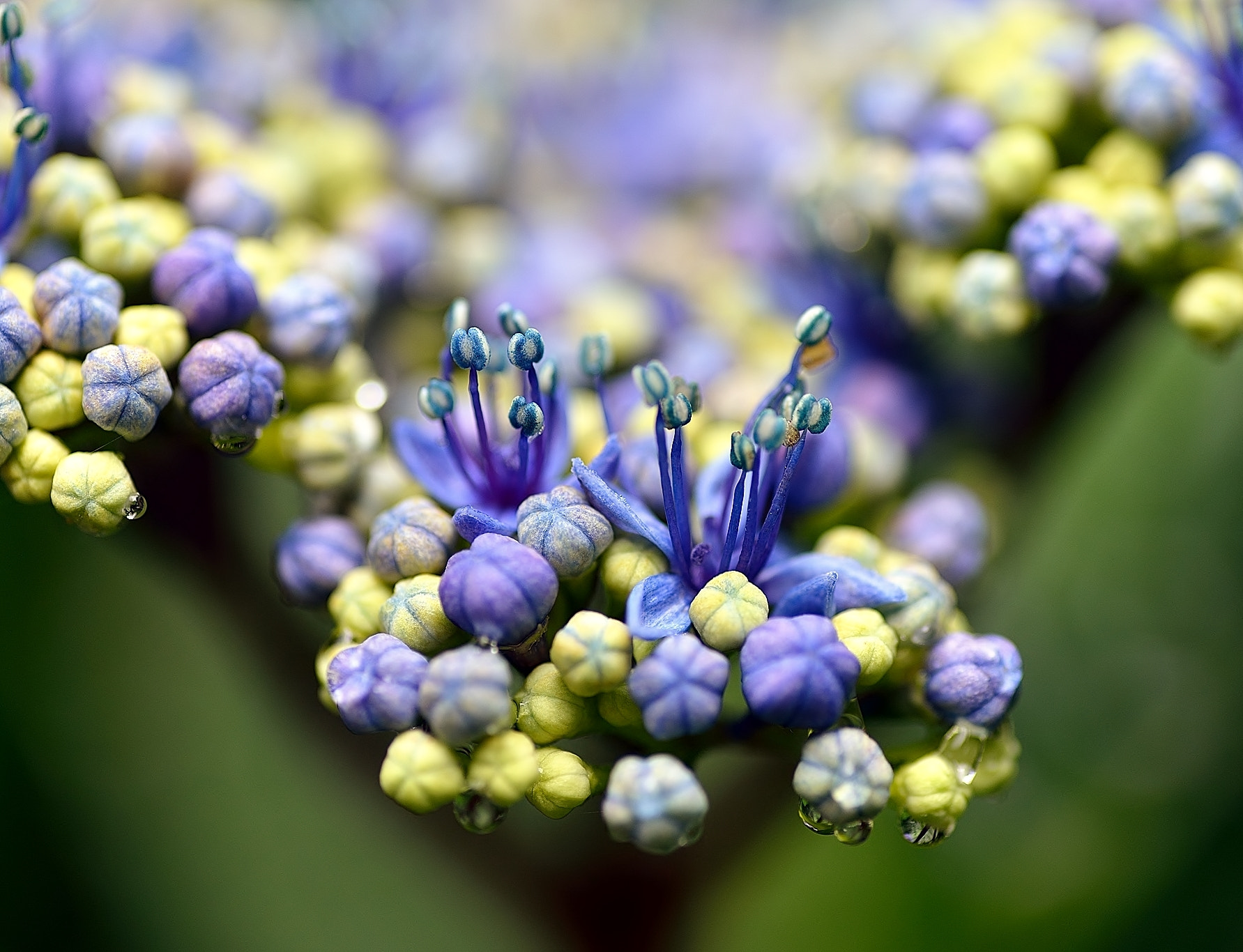 Photograph Tears of the hydrangea    by yoshi 馬場 on 500px