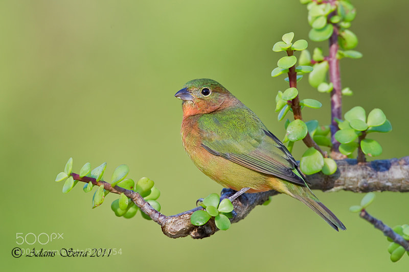 Photograph Painted Bunting by Adams Serra on 500px