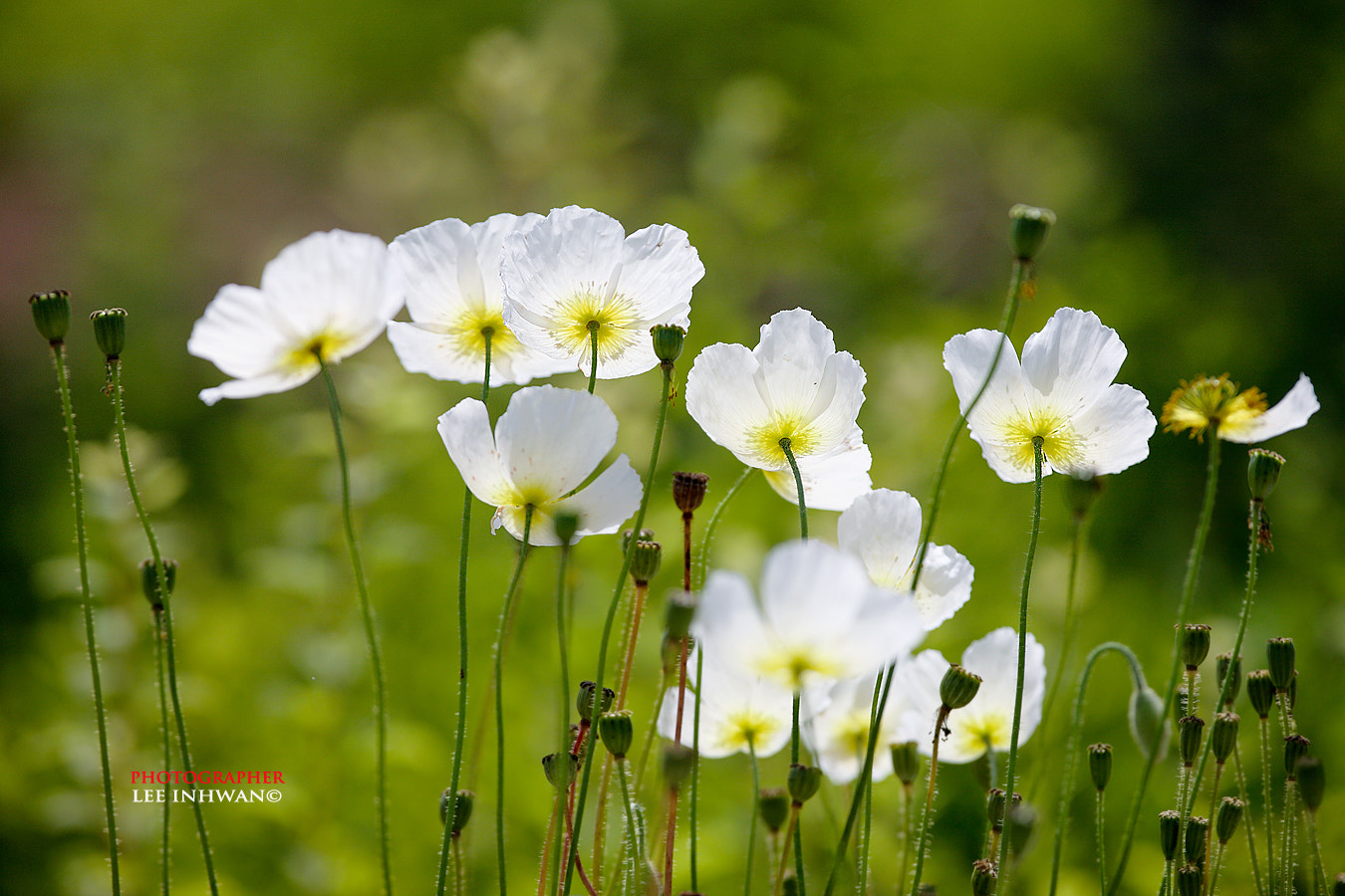 Photograph White poppy by LEE INHWAN on 500px