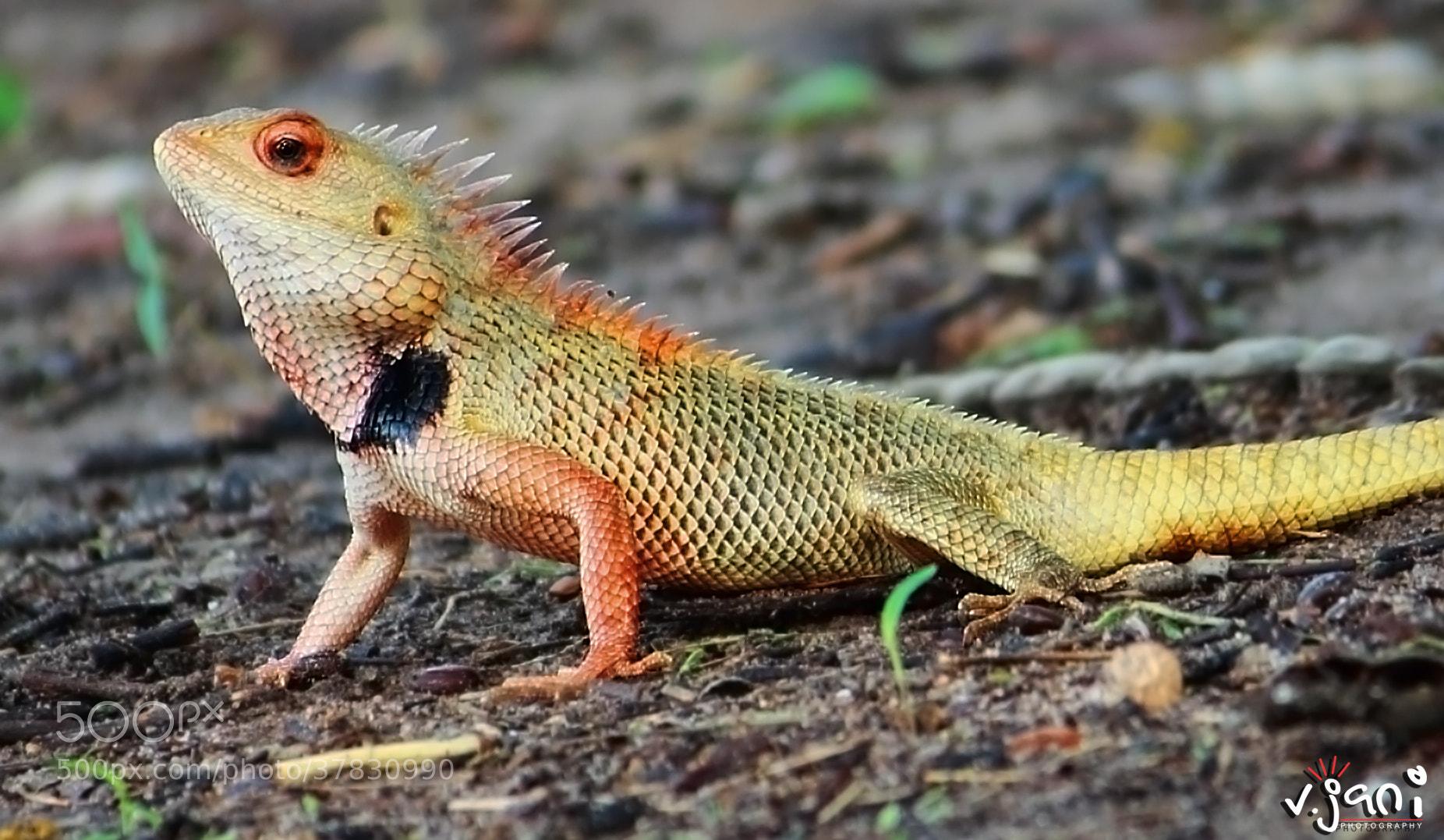 Photograph Chameleon by vishal jani on 500px