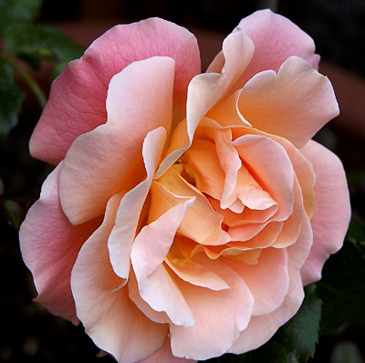 Photograph Soft Pink Rose by Don Rosser on 500px