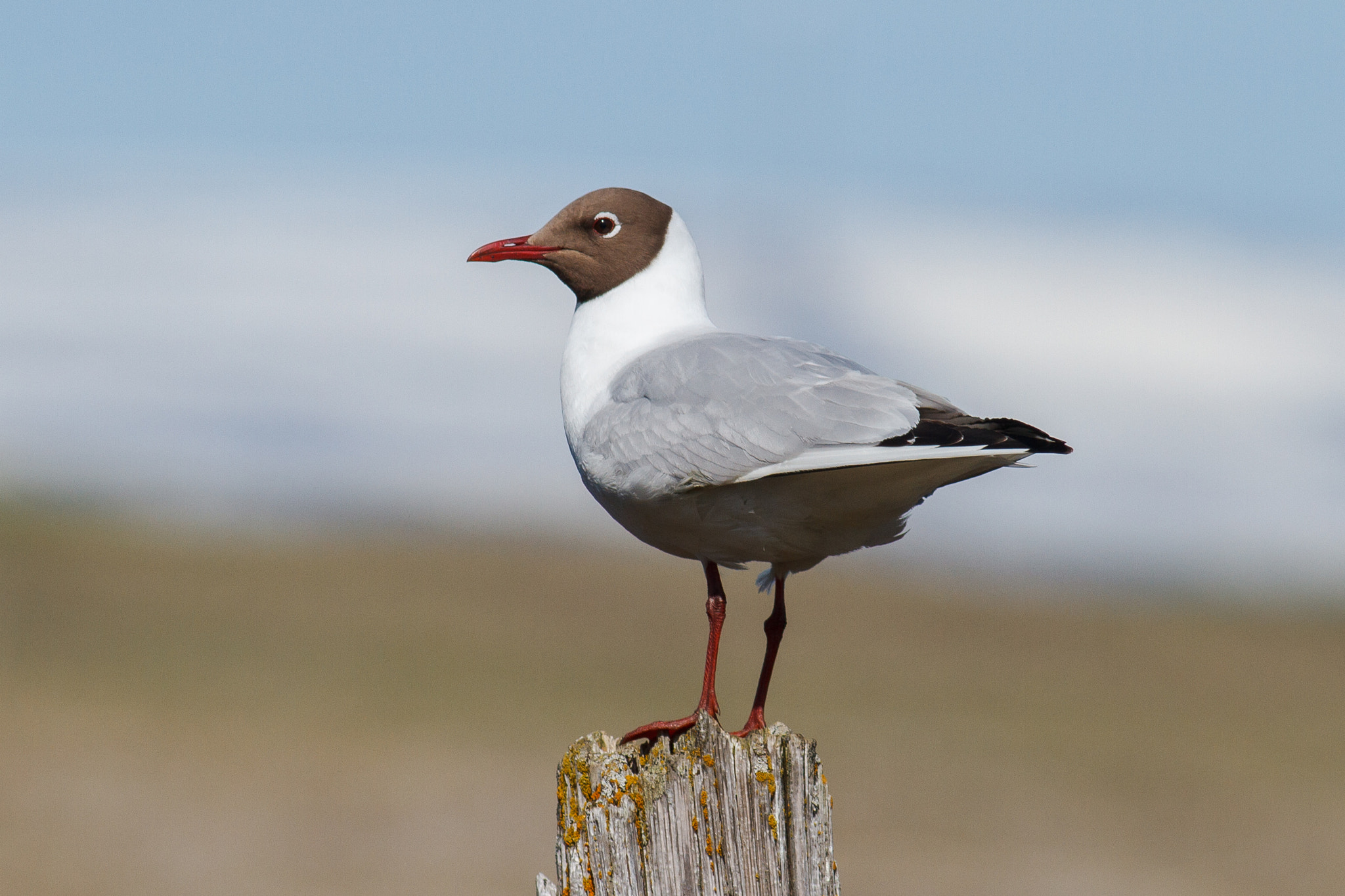Photograph Black-headed Gull by Reynir Skarsgård on 500px