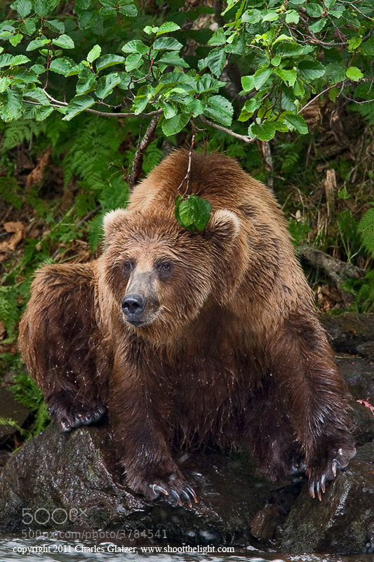 Photograph A well fed brown bear by Charles Glatzer on 500px
