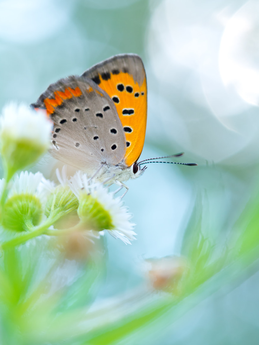 Photograph Small Copper by Yos Kawapon on 500px