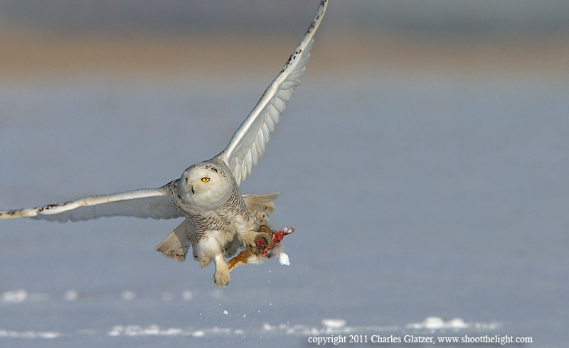 Photograph Snowy owl with wild cottontail   by Charles Glatzer on 500px