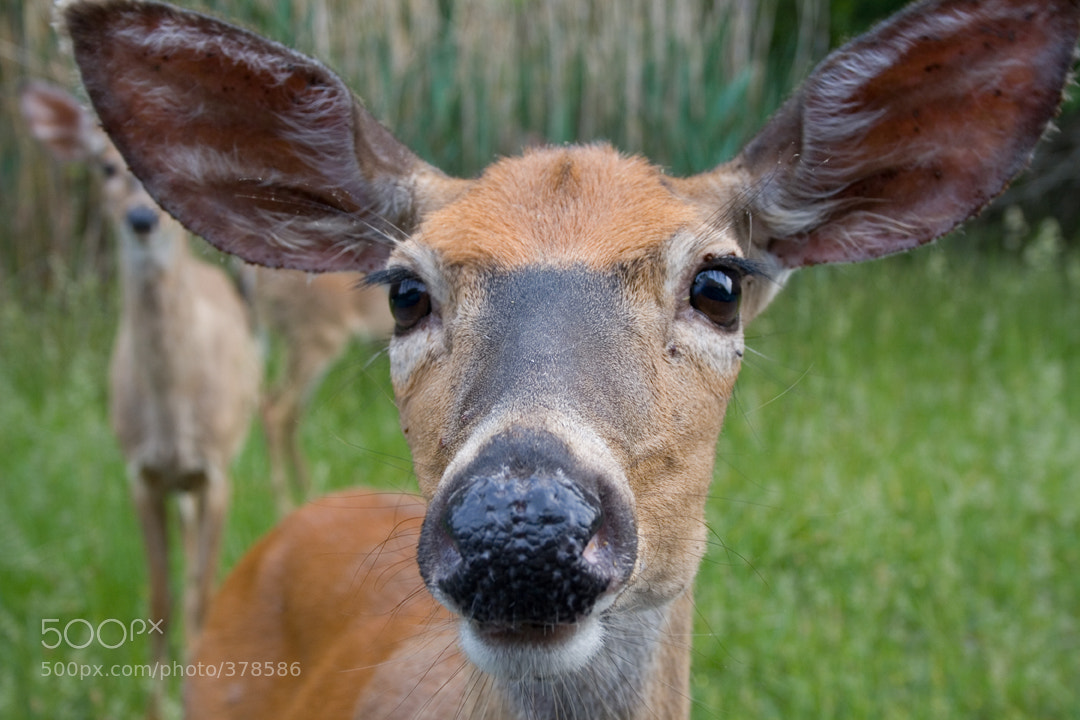 Photograph Nosey Deer by Larry Landolfi on 500px