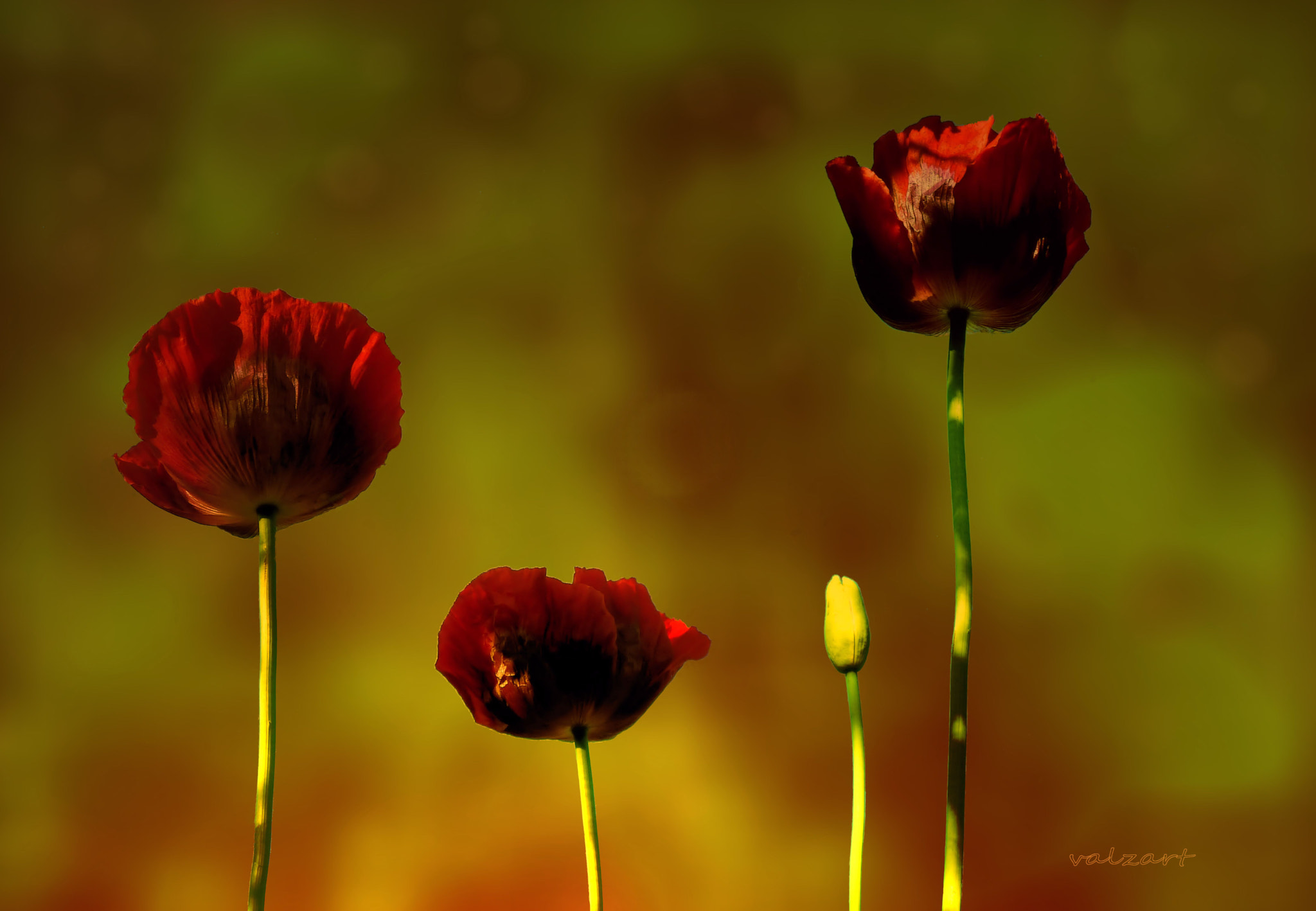 Photograph Papaver by Valerie Anne Kelly on 500px