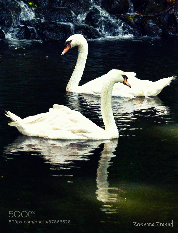 Photograph Swan couple by Roshana Prasad on 500px
