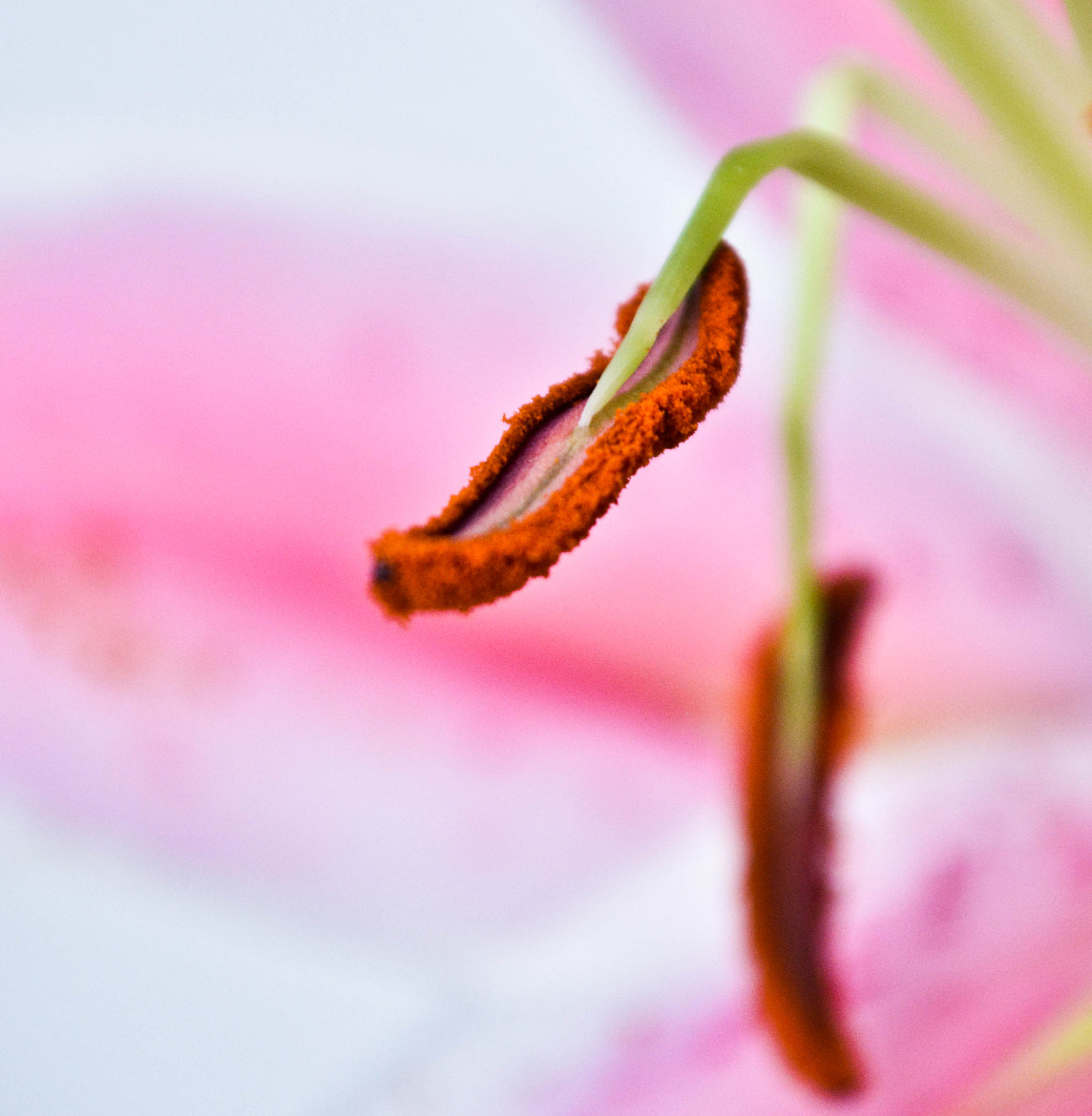 Photograph Lilium anthers by Tania Lara on 500px