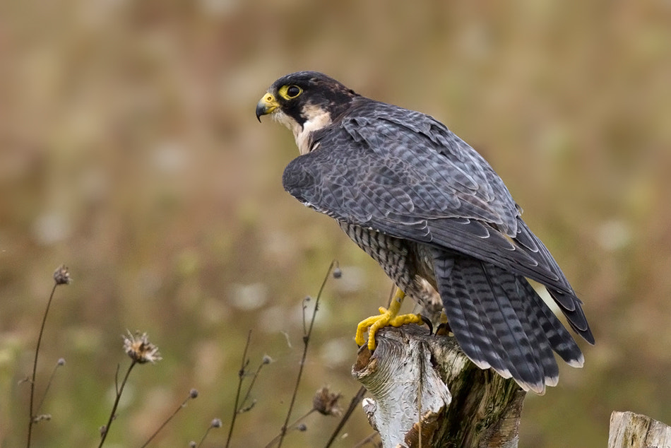 Photograph Peregrine Falcon by Tony Andersson on 500px