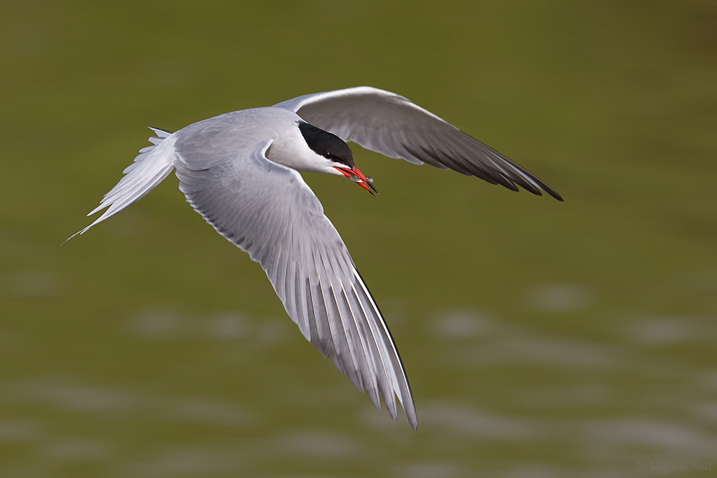Photograph A Snack - Common Tern by Siegfried Noët on 500px