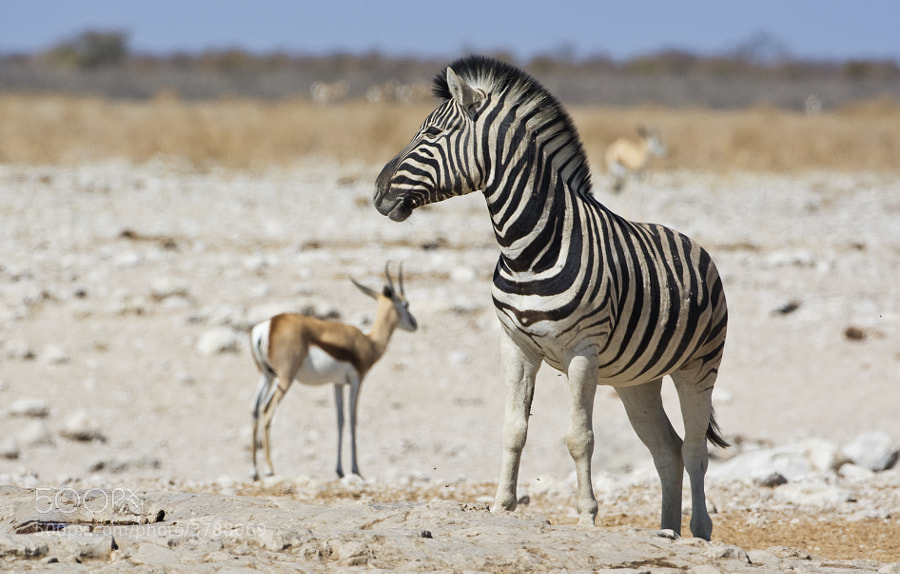 This Zebra Stallion shows his good looks at Gemsbokvlakte Watergole Etosha National Park, Namibia