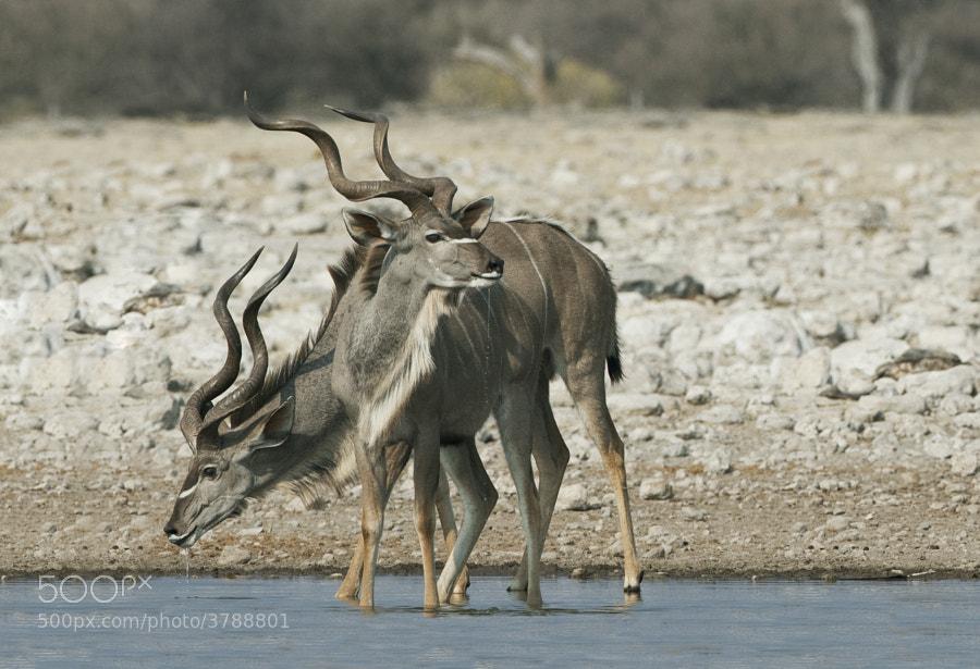 Two thirsty Male Kidu enjoy a refreshing drink, in Etosha National Park, Namibia