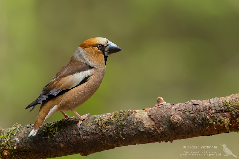 Photograph Hawfinch by Aldert Verboom on 500px