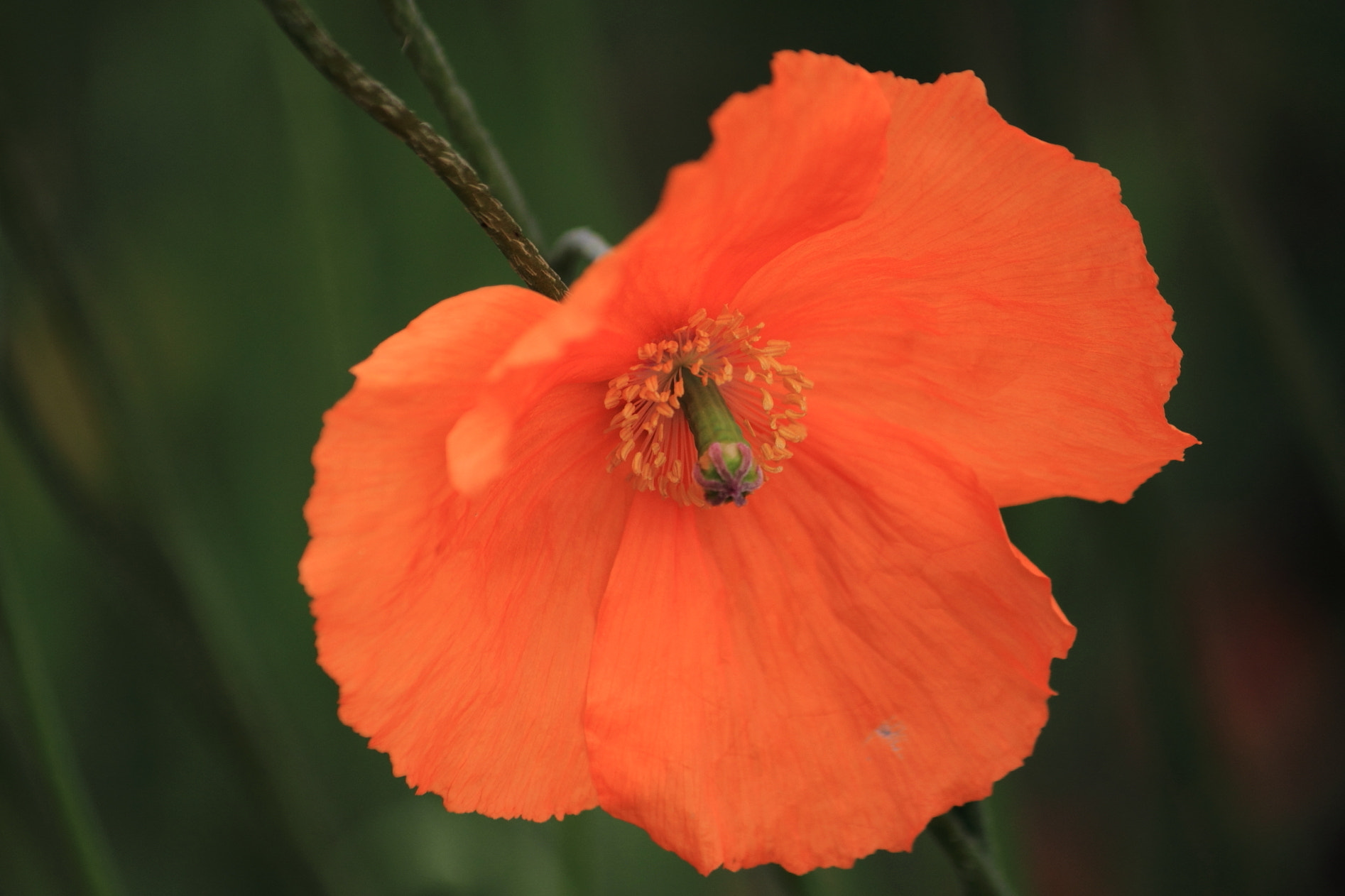 Photograph Orange Poppy by Carol  Gentle on 500px