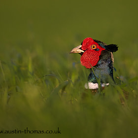 """I spent some time playing """"Hide and Seek"""" with this Pheasant recently. It would crouch down and move position within the undergrowth and then pop its head above the grasses to observe its surroundings."""