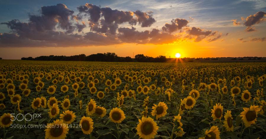 Sunflower Field At Sunset Stock Photos 500px
