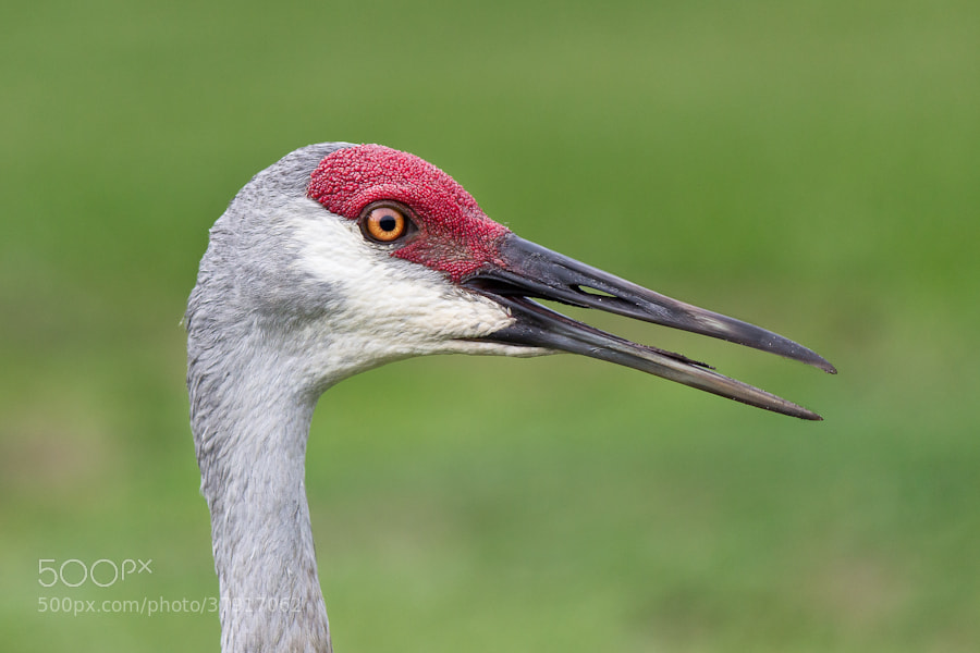 Photograph Portrait of a Sandhill Crane by T Mickler on 500px