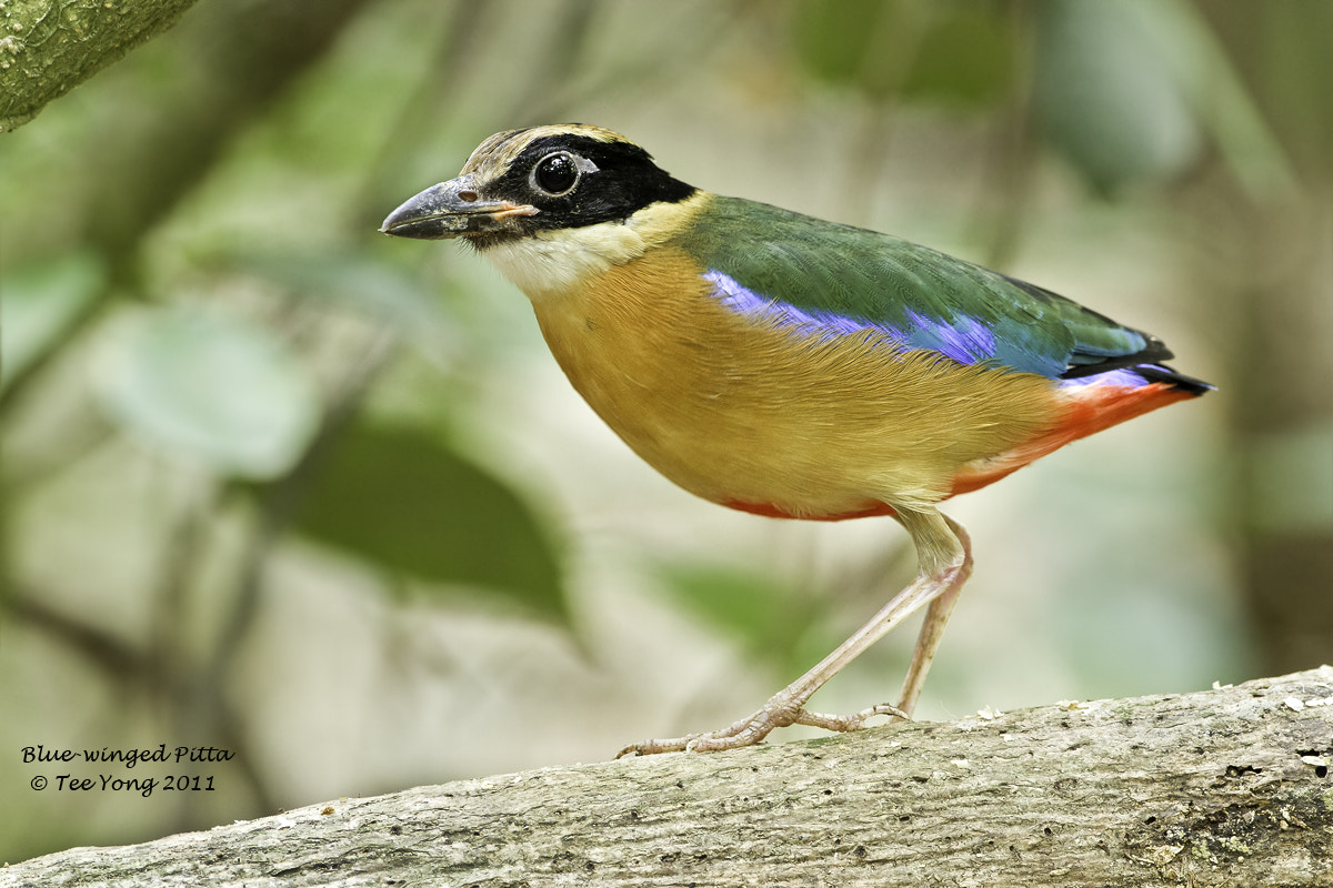 Photograph Blue-winged Pitta by TeeYong on 500px