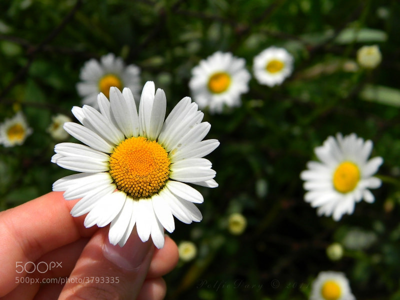 Photograph Hand with white flower by Anne B on 500px
