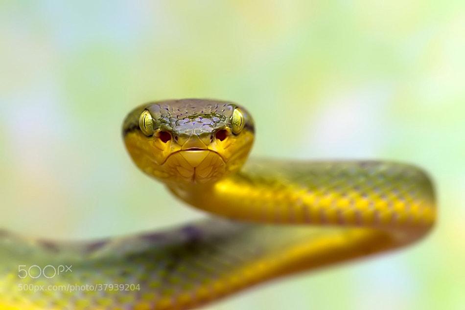 Photograph Bamboo pit viper by Nitin  Prabhudesai on 500px