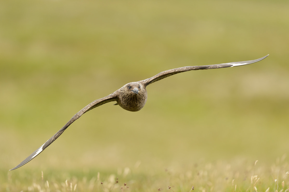 Photograph Bonxie (great skua) by Edwin Kats on 500px