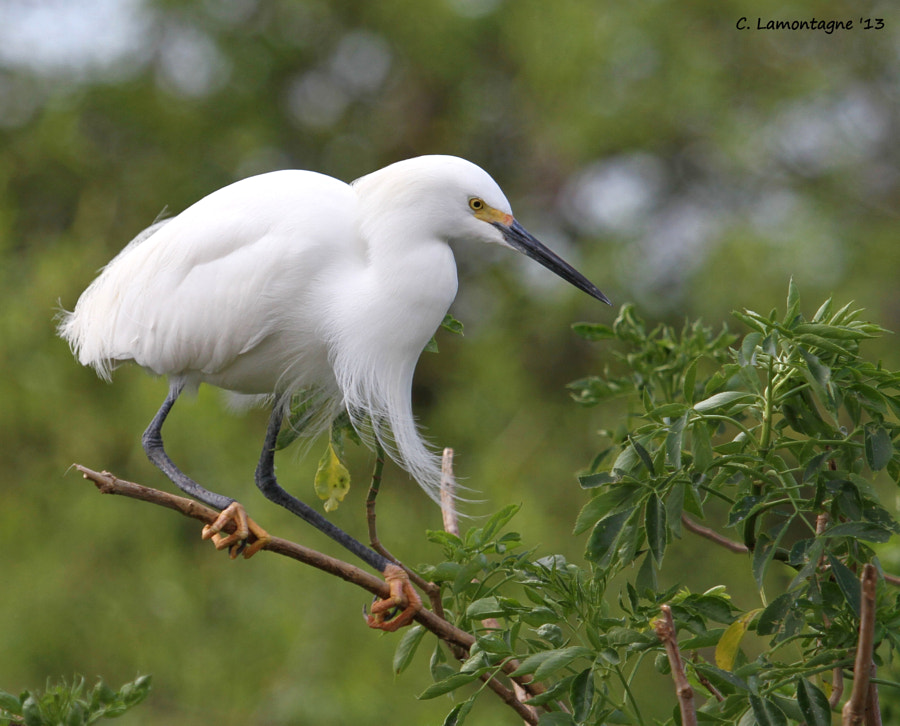 Snowy Egret hanging tight to a branch on a windy day in central Florida.