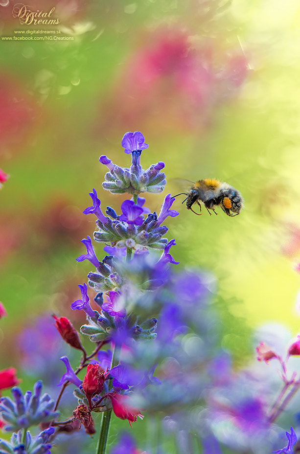 Photograph Bumblebee II. by Norbert G on 500px