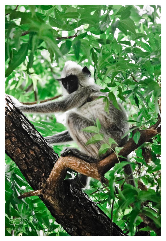 Photograph Grey langur by Gobi Tharm on 500px