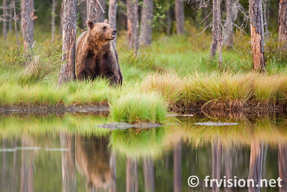 Photograph Brown bear(Ursus arctos), Vartius, Finland  by Javier Fores on 500px