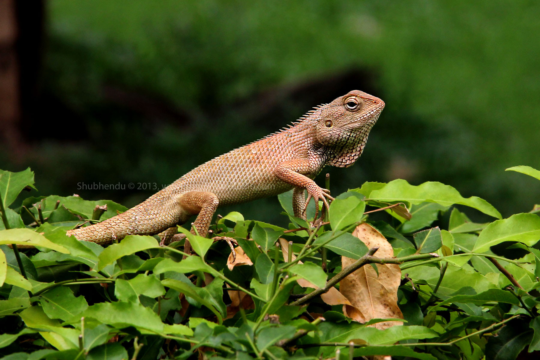 Photograph commom garden lizard... by Shubhendu Bikash Mazumder on 500px