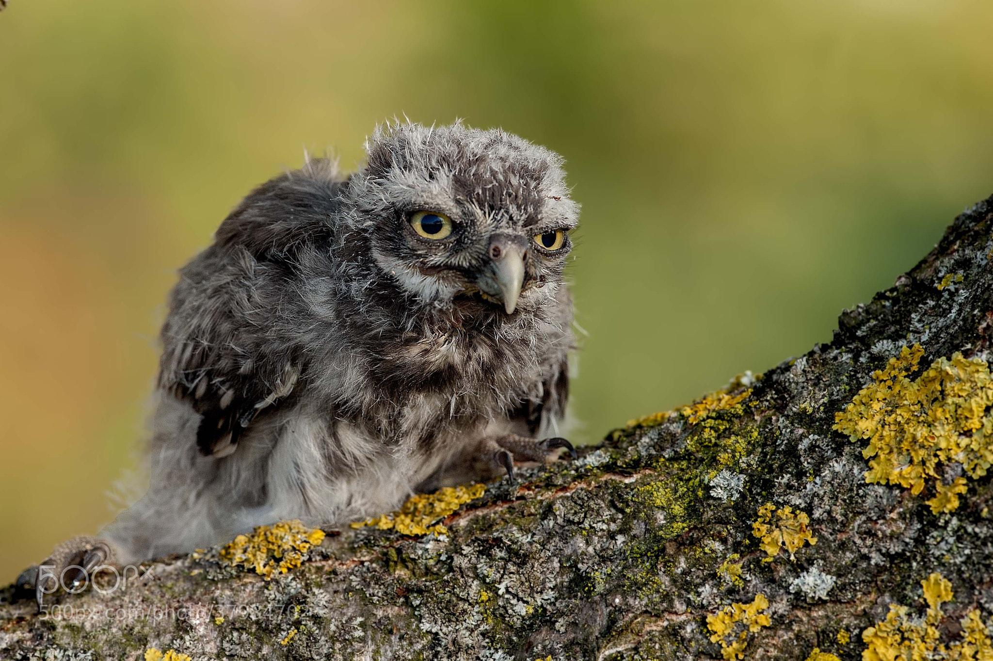 Photograph little owl by Riccardo Trevisani on 500px