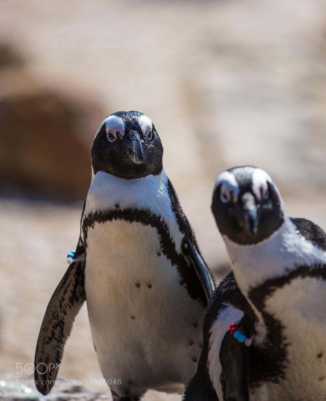 Photograph African Penguin (Spheniscus demersus) by Scott Nelson on 500px