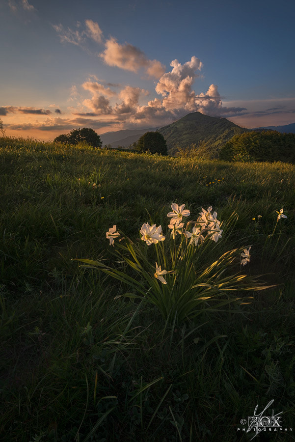 Photograph Wild Daffodils by Enrico Fossati on 500px