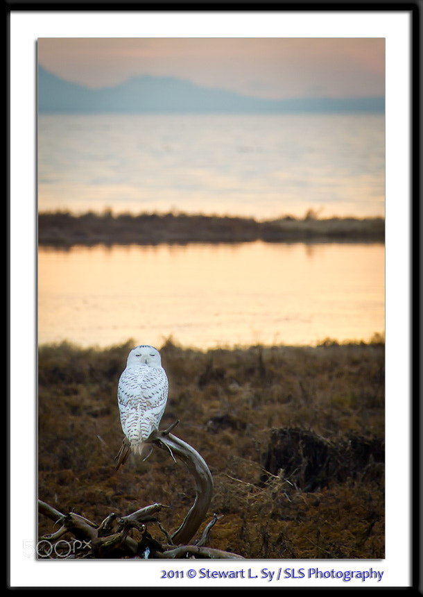Photograph Snowy Owl 1 by Stewart L. Sy on 500px
