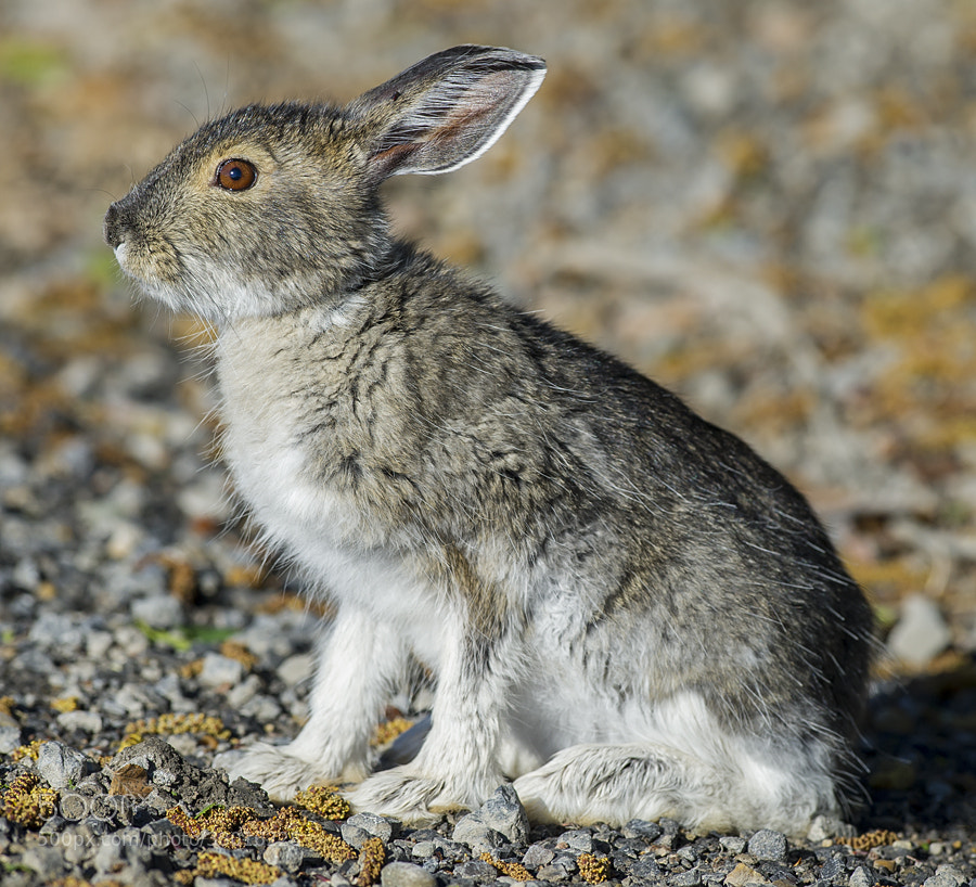 Photograph Snowshoe Hare, Summer Edition by Dan Newcomb on 500px