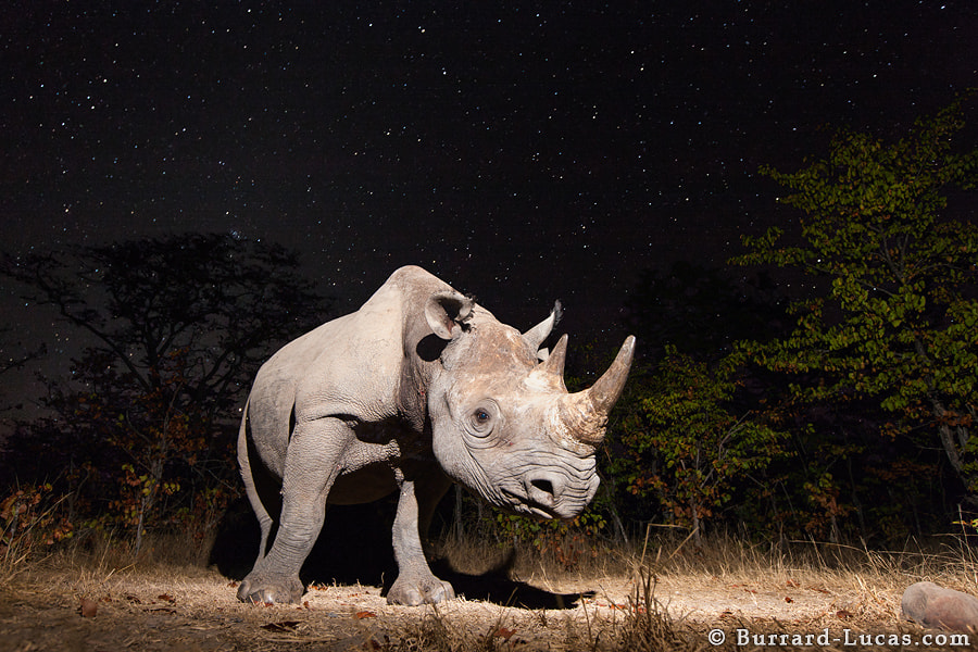 Photograph Rhino under stars by Will Burrard-Lucas on 500px