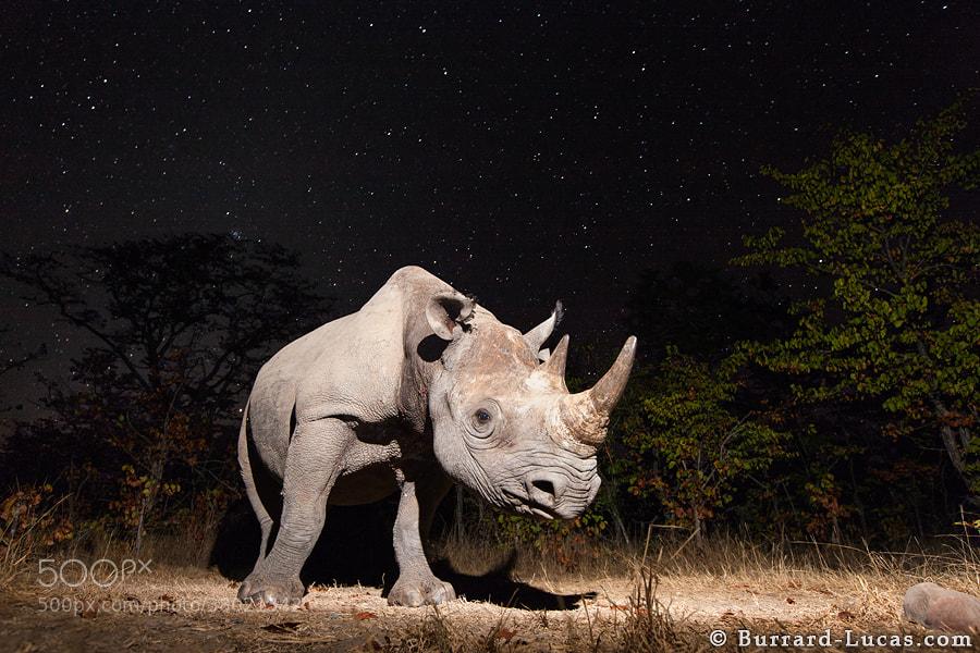 Camera trap photo of a black rhino under a beautiful star-filled night sky.