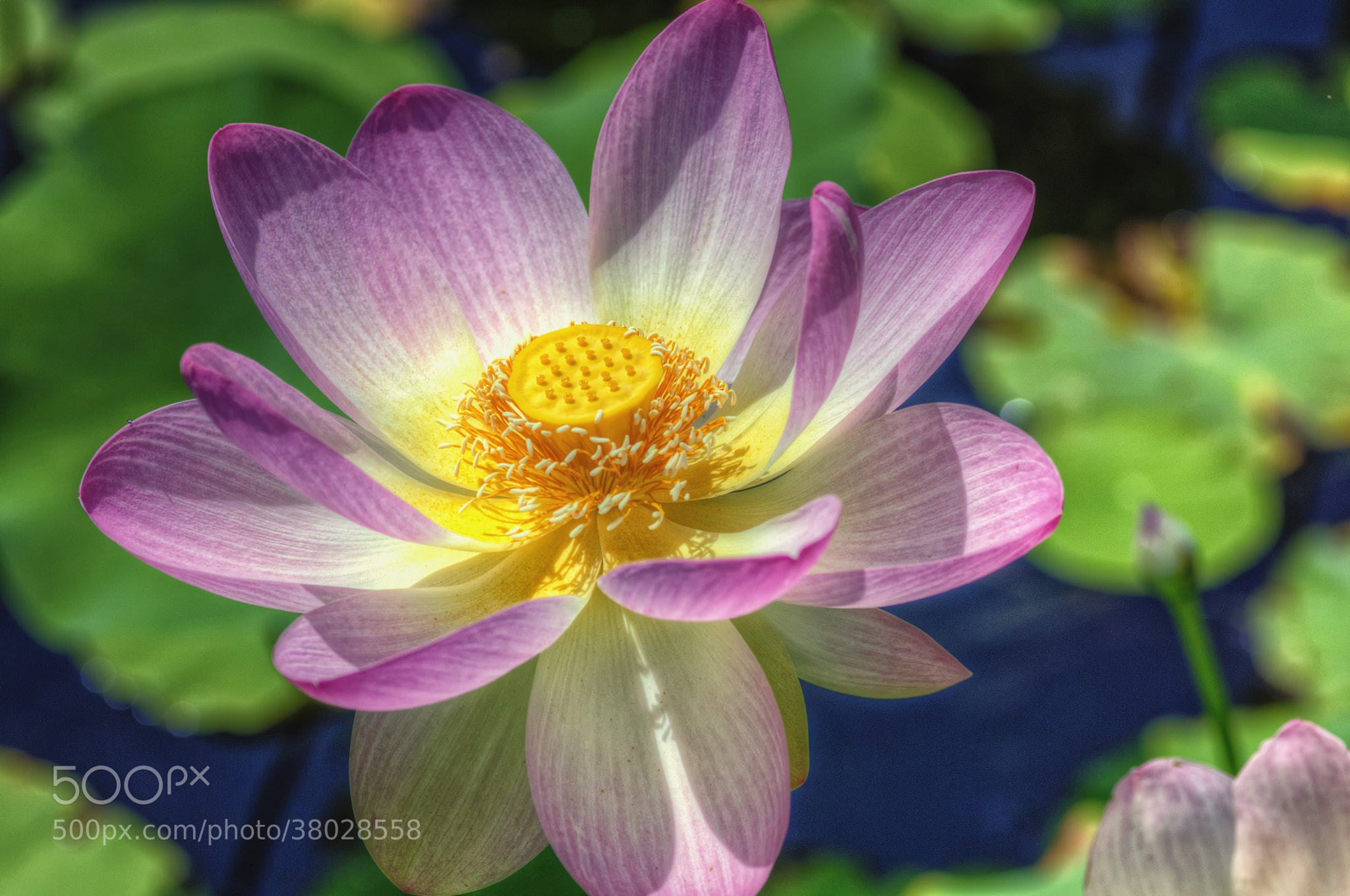 Photograph Pink Lotus Flower by James Gramm on 500px