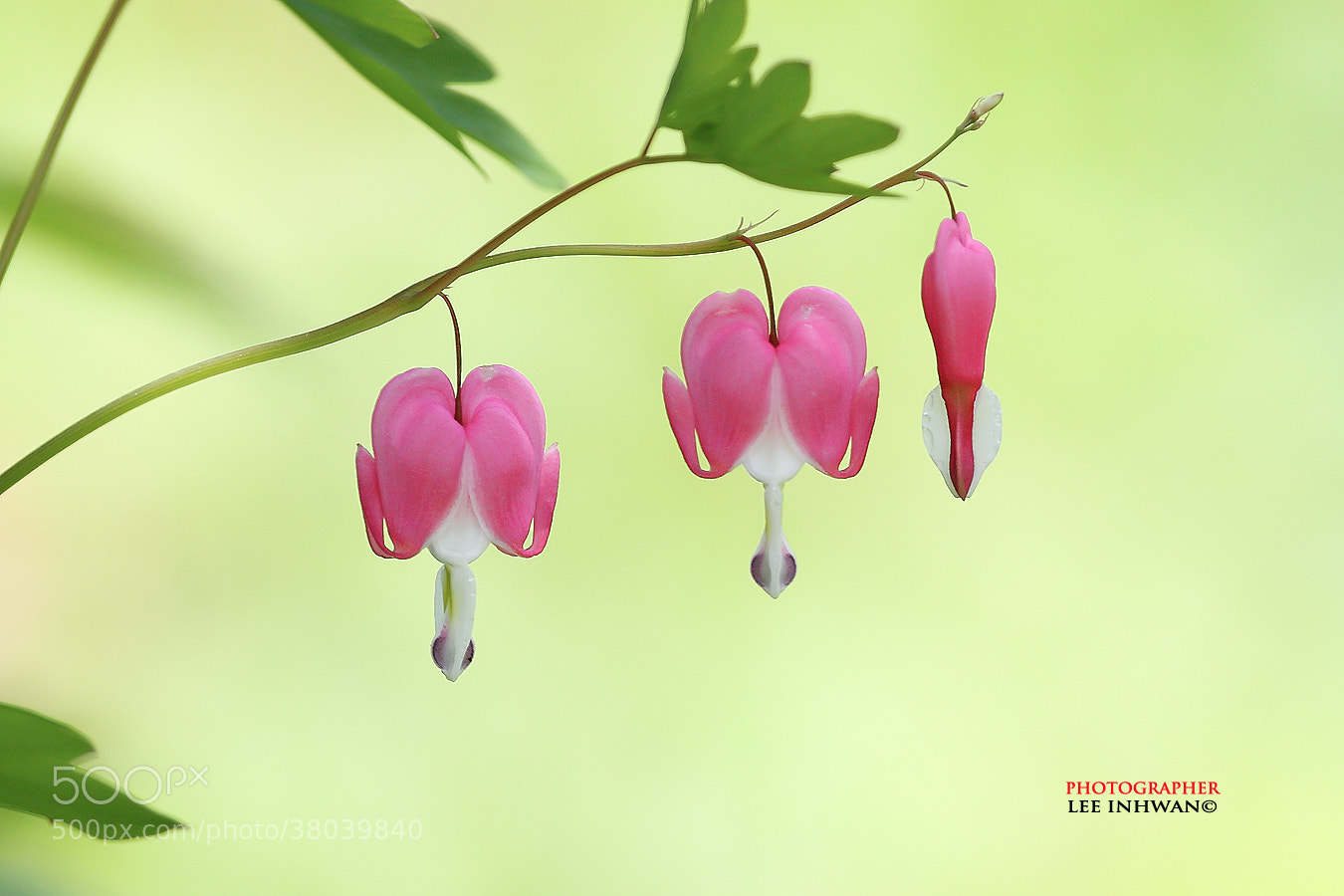 Photograph Last bleeding heart by LEE INHWAN on 500px